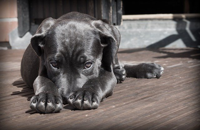 ペット 犬 子犬