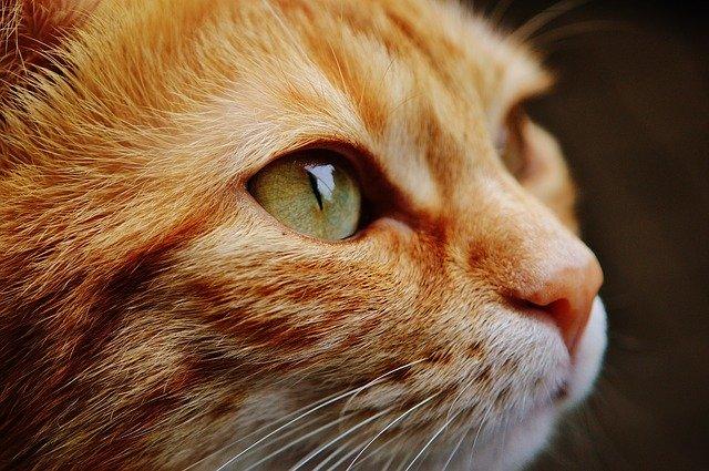 猫 顔 目